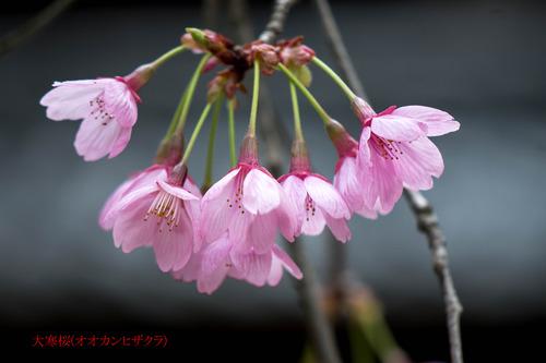 大寒桜DSC_1976-1のコピー.jpg