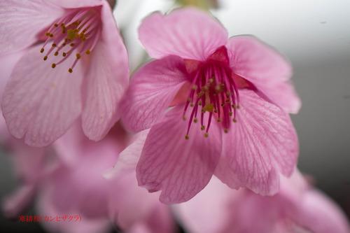 寒緋桜DSC_2009-1のコピー.jpg