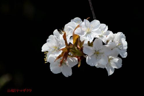 山桜DSC_3768-1のコピー.jpg